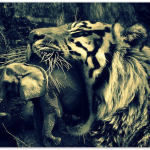 Harimau Malaya vs Gajah Siam.