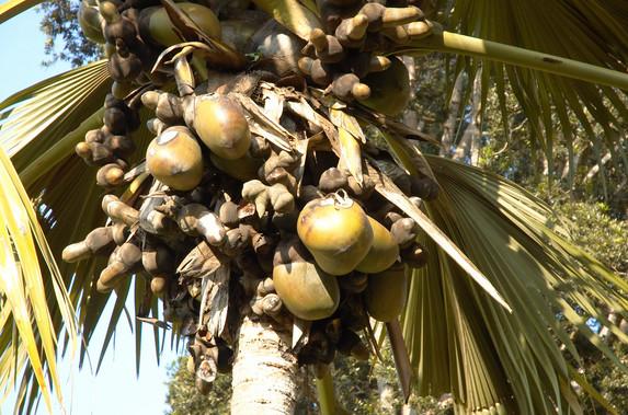 pokok Double Coconut