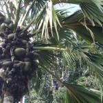 pokok double coconut yang kuat