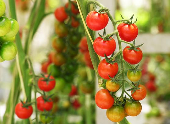 khasiat makan tomato