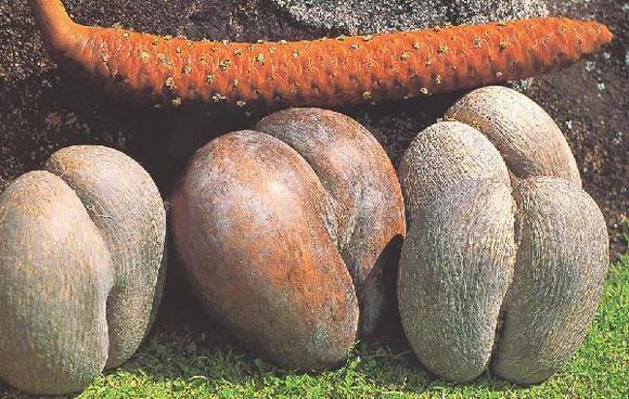 apa itu Double Coconut